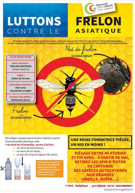 frelon-asiatique